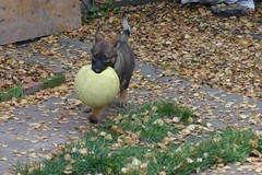 Escape With A Ball (cwgoodroe) Tags: dog color cute fall face tongue closeup ball puppy fur toy spring furry play fuzzy shepherd watching guard ears canine running run german cuddle stick chew gnaw attention playful ran trot shephard guarding k9 germanshephard observant gsd cutepuppy alet sephard germanshepherdeyes