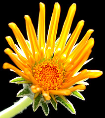 a5310 Gold Fingers (tengtan (away awhile)) Tags: flowers yellow garden golden petals closed fingers blossoms shade daisy gazania blooms botany soe amazingamateur auselite colourartaward