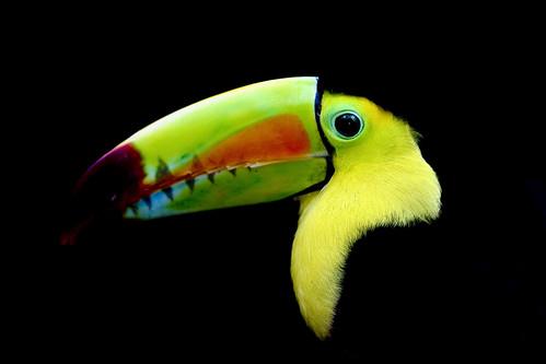フリー写真素材, 動物, 鳥類, オオハシ科, サンショクキムネオオハシ,