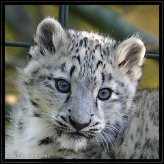 Young snow leopard (omk1) Tags: snow cute animal cat zoo cub tiere photo foto little young leopard wilhelma babyanimal tierfotos schneeleopard animalphotos specanimal golddragon anawesomeshot colorphotoaward megashot photofaceoffwinner betterthangood goldwildlife itsazoooutthere vosplusbellesphotos