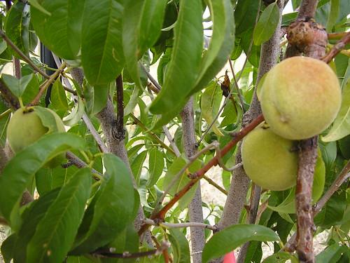 a peach tree with peaches.jpg