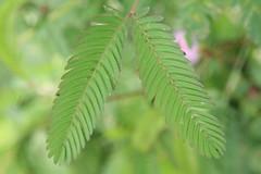 Makahiya Leaves