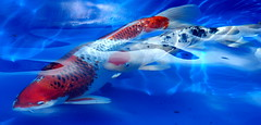 Koi Dreams (gatorgalpics) Tags: winter fish wow cool blues explore dreams koi fl temps gainesvillefl in themoulinrouge kanapahabotanicalgardens winterlike llovemypic