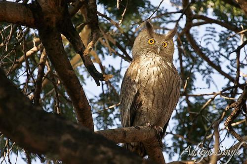 Dusky Eagle Owl - 1