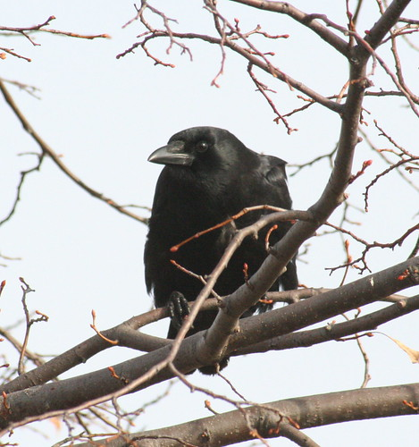 american crow perch