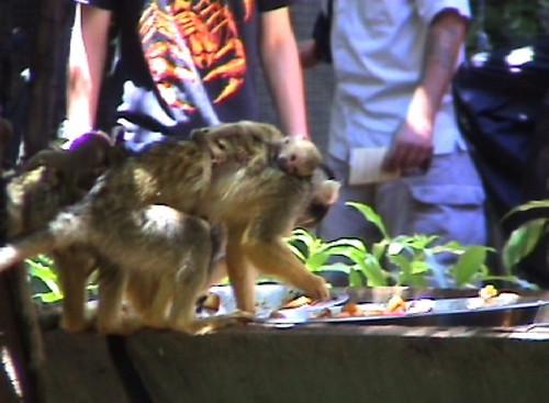aapje met jong
