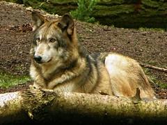 wolf05