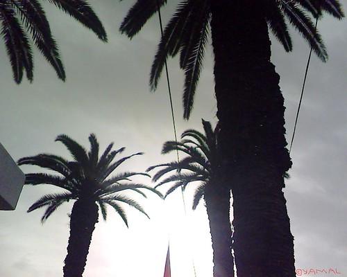 Palmiers Casablanca