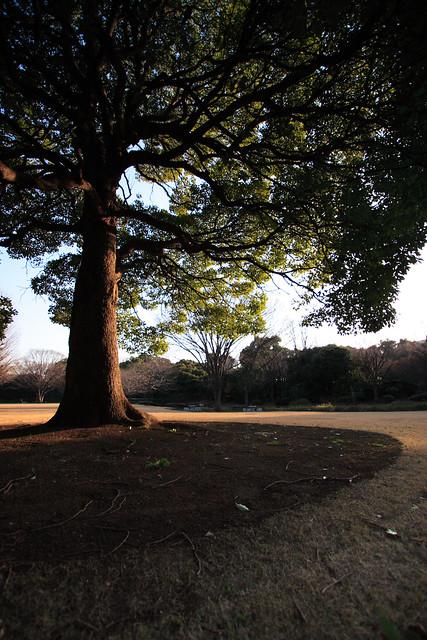 常緑の巨木