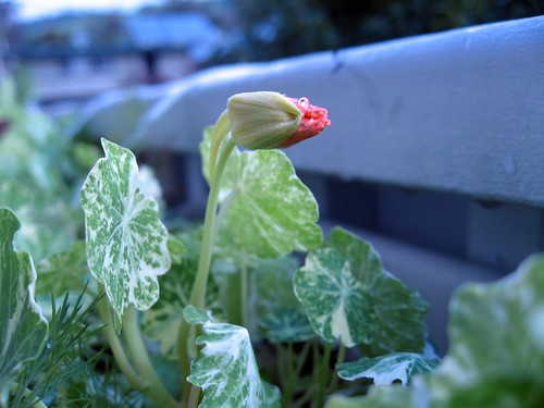 2008-03-14_nasturtium_bud_early_morning.jpg