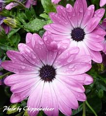 Lavender Beauties (chippewabear) Tags: flowers macro floral rain spring flora blossoms lavender blooms flowerscolors
