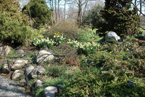 Narcissus in the Rock Garden