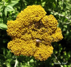 Helichrysum umbraculigerum and guest (pennyeast) Tags: wild plant flower nature yellow southafrica botanical capetown kirstenbosch plantae wildflower asteraceae indigenous fynbos southafrican cfr westerncape daisyfamily helichrysum nativetosouthafrica papaalphaecho helichrysumumbraculigerum umbraculigerum