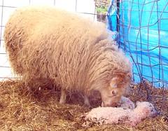 Marilyn & lambs