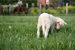 grazing lamb