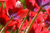Red tulips at the keukenhof (The Sandy) Tags: red orange flower colour netherlands tulips nederland tulip rood keukenhof tulpen bloem tulp lisse flowerbulb keuke tulpenbol tuliprode