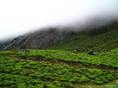 green chill (Debmalya Mukherjee) Tags: mist clouds tea kerala hills rains munnar teaestate 5photosaday