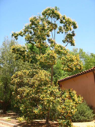 Hymenosporum flavum Pittosporaceae