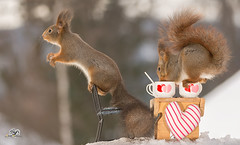 get you some more (Geert Weggen) Tags: red nature animal squirrel rodent mammal cute look closeup stand funny bright sun backlight heart love valentine holiday tender logo winter snow passion swing pair duo couple table chair cup drink spoon bispgården ragunda geert weggen jämtland sweden sverige