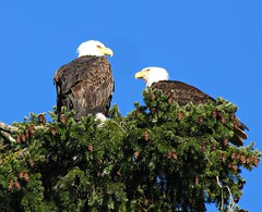 Bald Eagle Pair, Swan Lake Nature Sanctuary (kellermartha453) Tags: bald eagle pair swan lake nature sanctuary raptors douglas fir tall perched bc annual family day children songbirds waterbirds feed rest mate build nests raise young
