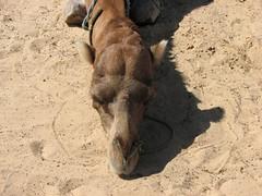 Resting camel (davnagy) Tags: africa holiday animals canon is tunisia djerba powershot camel s3 canonpowershots3is