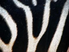 OUI  or  Zebra? (♡ Popotito ♡) Tags: fab white black rayas nature argentina lines animal hair zoo buenosaires zebra soe pelo zoologico capitalfederal supershot anawesomeshot popotito