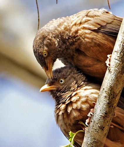 Jungle Babbler Pair
