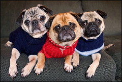 Brotherhood of Pugs ([Christine]) Tags: cute dogs sweater yoda couch trio mojo pugs wookie boaa splendiferous mywinners abigfave impressedbeauty