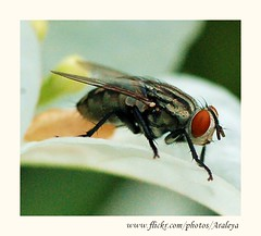 Poetic Fly (Araleya) Tags: life macro eye home nature animals garden insect thailand fly nikon guest visitor frontyard secretgarden nonthaburi beautifullife araleya