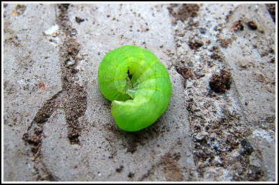 caterpillar copy