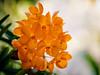 I hope you will smile back at them :) (kktp_) Tags: flowers flower macro nature smile thailand nikon bravo dof orchids bokeh bangkok soe smilies magicdonkey ดอกไม้ d80 105mmf28gvrmicro abigfave infinestyle