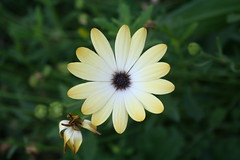 Yellow Flower (Sunburnt Tiger) Tags: kewgardens yellowflower daisy prettypetals