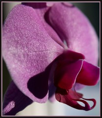 Forked Tongue (tinyfroglet) Tags: orchid flower fleur purple moth phalaenopsis naturesfinest fpc naturescall flowerotica abigfave diamondclassphotographer flickrdiamond macrophotosnolimits flickrelite brillianteyejewel treeofhonor
