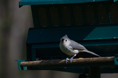 Tufted Titmouse (waltser) Tags: titmouse tufted