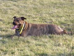 Dog Aggression in Pit Bulls