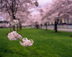 A colorful reprieve (Zeb Andrews) Tags: pink color green film oregon portland spring seasonal parks fujireala pacificnorthwest cherryblossoms pdx pentax67 bluemooncamera zebandrews zebandrewsphotography