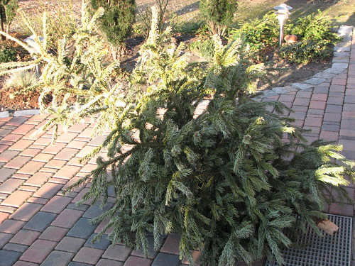 Abgeputzter Weihnachtsbaum