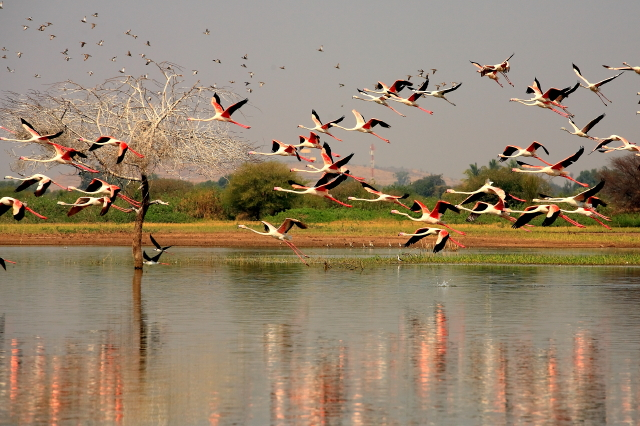 flight of flamingos-2...