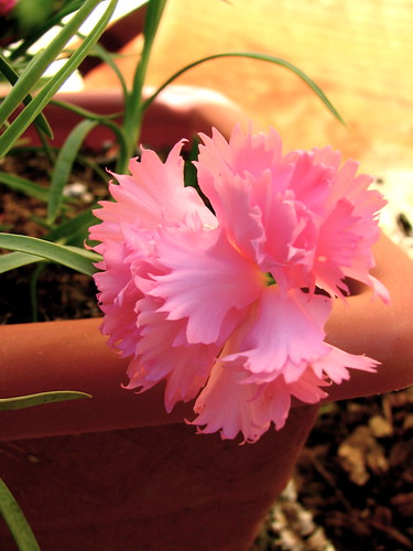 Surprise Carnation