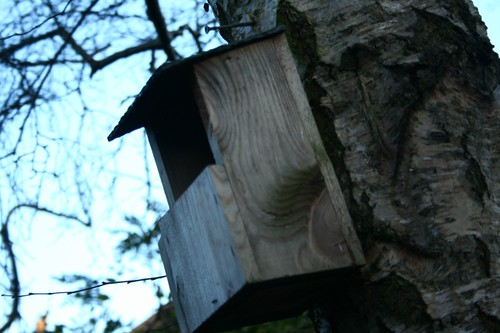 Nesting Box on Birch Tree