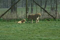 Longleat Safari Park #52