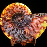 Ammonite thumbnail