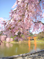 cherry blossom photo from keylimepie