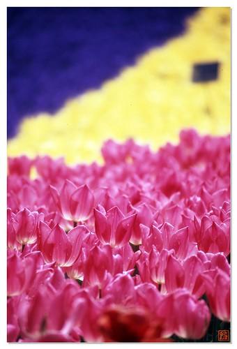 Tulip 080424 #04