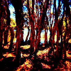 is there a way out (microabi) Tags: trees nature holga reserve australia swamp wayout