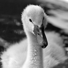 Cygnet (sgn) Tags: bird nature closeup swan wildlife cygnet furball artlegacy featheryfluffyflapper