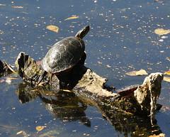 Time to Sun Myself (michaelmatusinec) Tags: wisconsin digitalcameraclub browndeerpark canoneos40d fall2008 turtlesuning