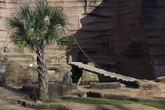 baboon exhibit (ucumari photography) Tags: ucumariphotography riverbankszoo columbia sc south carolina february 2017 baboon animal mammal dsc6595