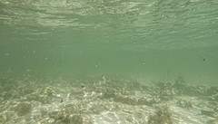 Rekin rafowy | Grey reef shark
