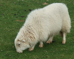 Welsh wooly sheep (lisaluvz) Tags: hairy field grass animal wales sheep farm hill wooly ceredigion grazing bej lisaluvz